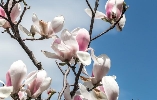 Цветущее дерево магнолии крупным планом, концепция цветов и весны Бесплатные Фотографии