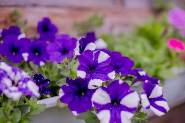 Flowering white petunias in orange pots, hanged on rope in flower market.floral landscaping brings a riot of color to city's streets, city beds with flowers, environmental responsibility Premium Photo