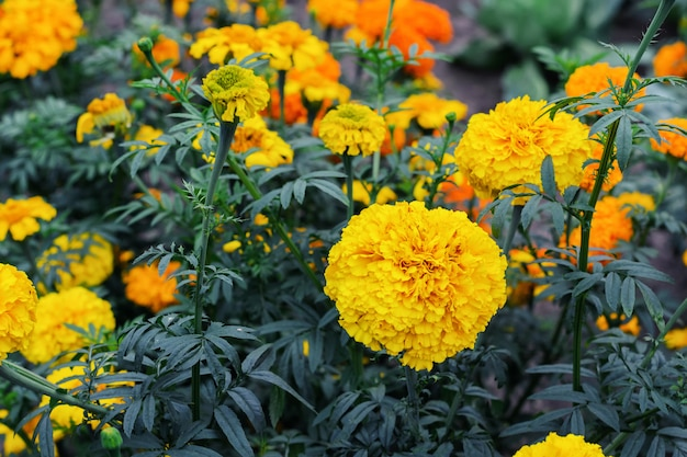 Flowering yellow flowers marigolds in summer garden Premium Photo