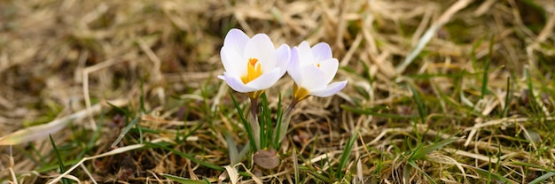 Flowers crocuses in full blossom, white lilac color, grow on the withered grass. the first spring flowers in nature outdoor. banner Premium Photo