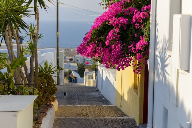 Flowers hanging from a wall on a narrow street in the village of oia, santorini Premium Photo