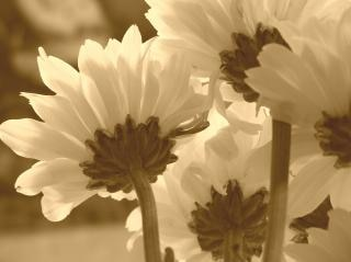 flowers in sepia Free Photo