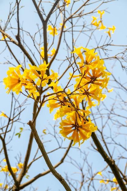 美しい青い空と黄色いイペの花 Premium写真
