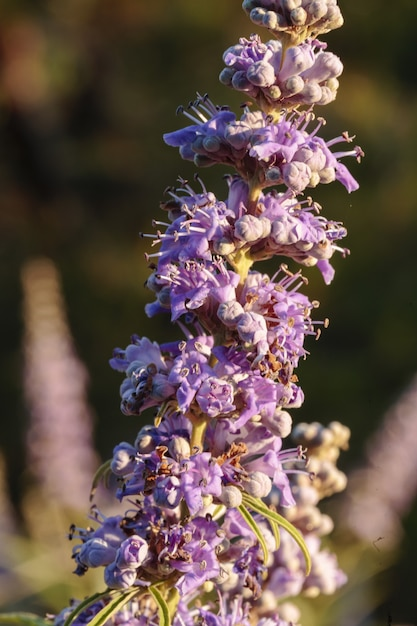 Цветы целомудренного дерева vitex agnus-castus, Бесплатные Фотографии