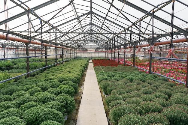 花の生産と栽培。温室にはたくさんの菊の花が咲いています。菊のプランテーション 無料写真