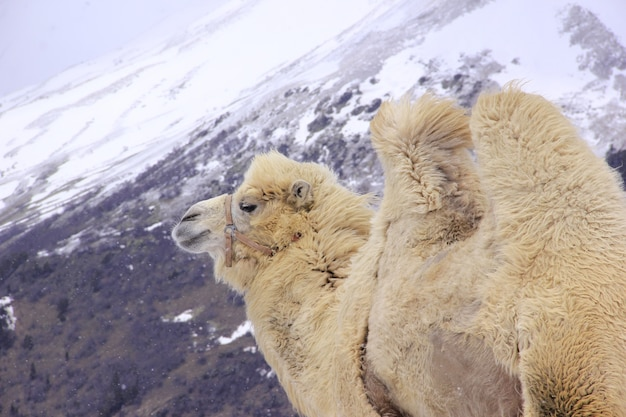 Fluffy camel against the background of the caucasian high snow-capped mountains Premium Photo