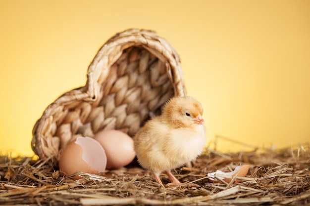 Fluffy small chicken in nest Free Photo
