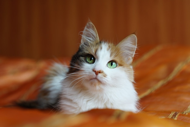A fluffy spotted domestic cat with green eyes is lying on an orange blanket and looking at the camera. Premium Photo