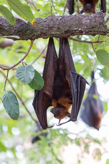 Flying foxes hanging on trees Premium Photo