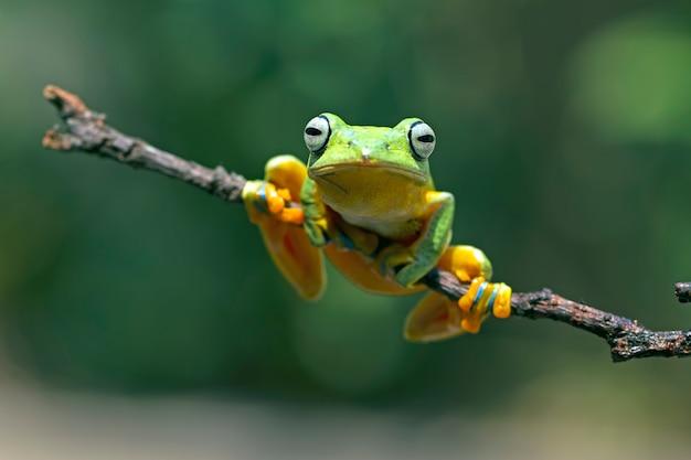 Flying tree frog, rhacophorus reinwardtii, javan tree frog Premium Photo