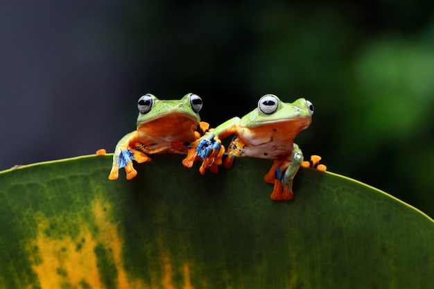 Flying tree frog, wallace frog, javan tree frog, rhacophorus reinwardtii Premium Photo