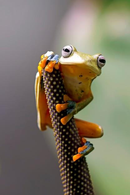 Flying tree frog, wallace frog, javan tree frog, rhacophorus reinwardtii Premium Photo