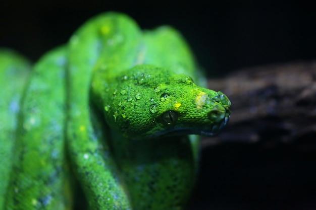 Focus dew on green snake head Premium Photo