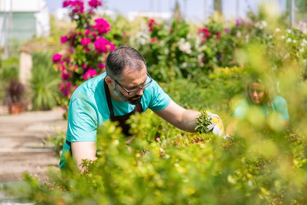 Focalizzato uomo che indossa grembiule, coltivazione di piante in giardino, taglio di rami. guarda attraverso gli occhiali. concetto di lavoro di giardinaggio Foto Gratuite