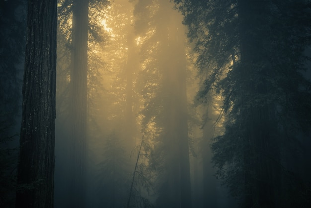 Fog in redwood forest Free Photo