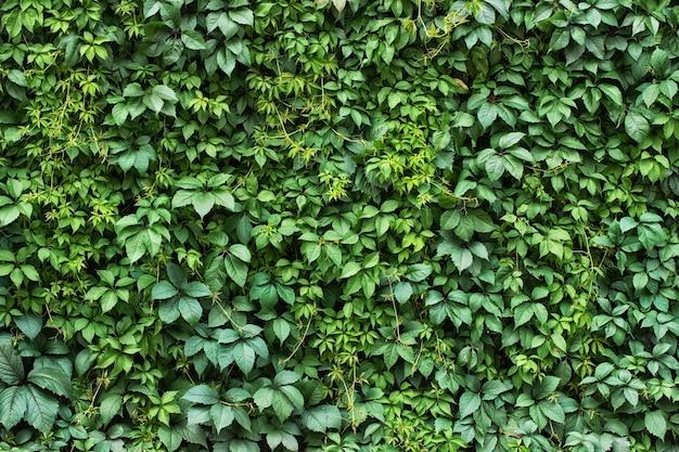 観葉植物の背景。緑の葉の生垣の壁。 Premium写真