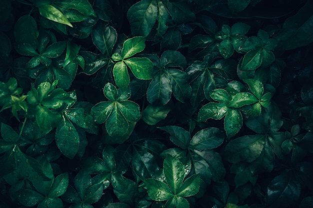 Foliage of tropical leaf in dark green with rain water drop on ...