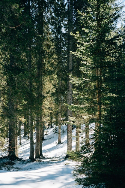 Forest during daytime with pine trees Free Photo