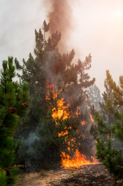 Forest fire. burned trees after wildfire, pollution and a lot of smoke Premium Photo