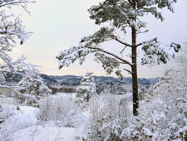 ノルウェーのラルヴィークの日光の下で雪に覆われた木々に囲まれた森 無料写真