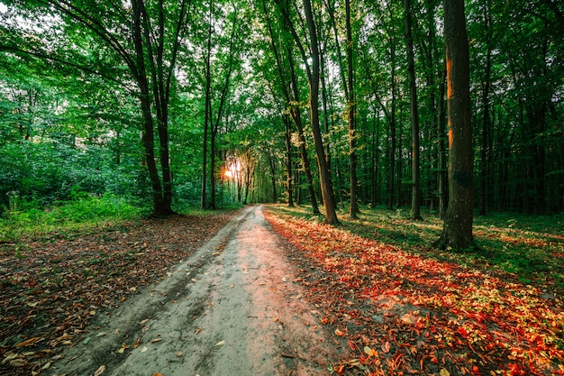 Forest trees background with sunlight Premium Photo