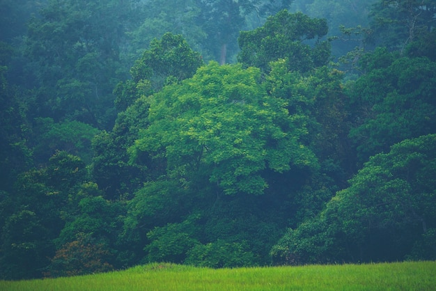 Forested mountain slope in low lying cloud with the evergreen conifers shrouded in mist Premium Photo
