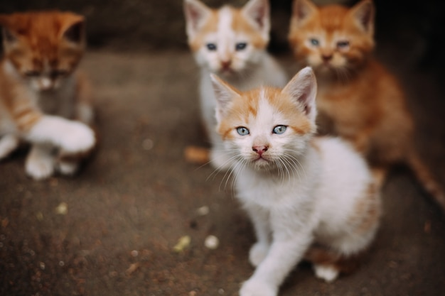 Four cute small stray white and ginger kittens Premium Photo