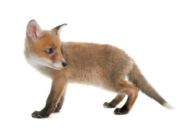 Fox cub Premium Photo