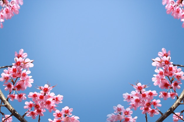 Frame of branches of blossoming cherry against background of blue sky and fluttering butterflies in spring on nature outdoors Premium Photo