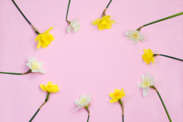 Frame of narcissus or daffodil flowers on pink background Premium Photo