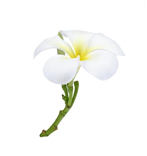 白で隔離される水滴とフランジパニ(プルメリア)の花 Premium写真