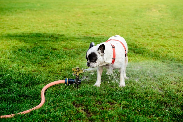 French bulldog drinking water from hose in park Free Photo