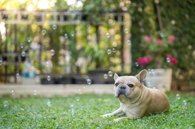 Французский бульдог в саду Premium Фотографии