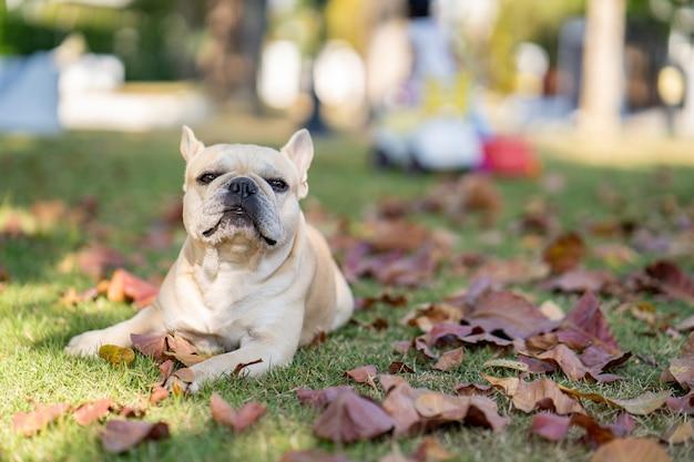 Французский бульдог лежит на осенних листьях Premium Фотографии