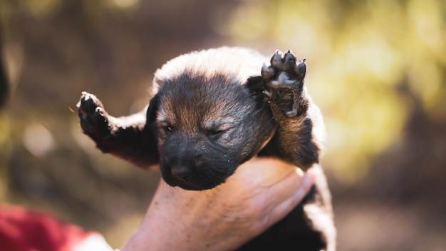 Французский бульдог щенок спит на коленях ребенка. Premium Фотографии