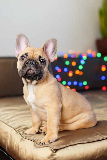 French bulldog sitting on couch looking at the camera. funny curious dog surrounded by blurry christmas lights Premium Photo