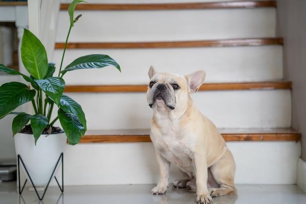Французский бульдог сидит в помещении с растением в горшке Premium Фотографии