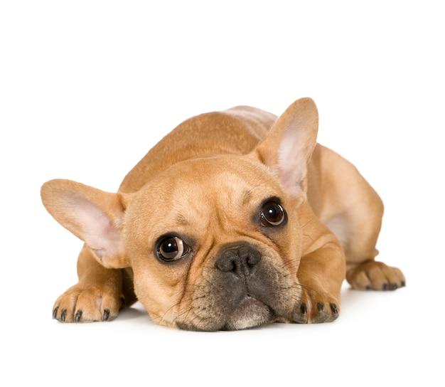Французский бульдог с 7 мес. портрет собаки изолированный Premium Фотографии