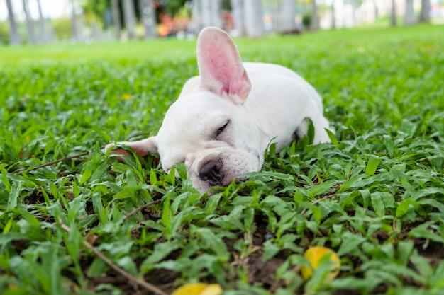 French bulldog Premium Photo