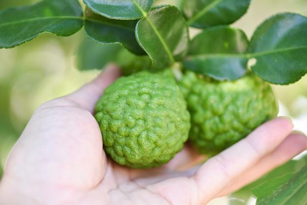 Свежие плоды бергамота на фоне природы дерева, лайм кафр, цитрусовые бергамия с листьями на деревянном столе Premium Фотографии