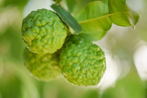 Свежие плоды бергамота на дереве Premium Фотографии
