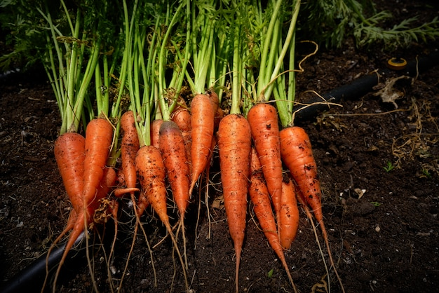 Fresh carrots just harvested in homestead Premium Photo