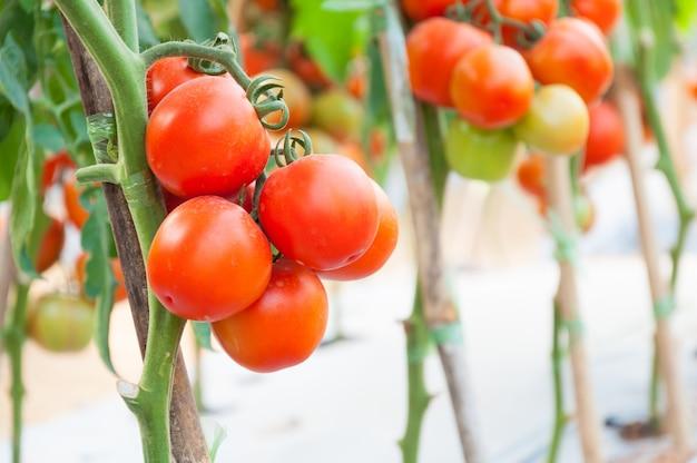 Fresh cherry tomatoes in the garden Premium Photo