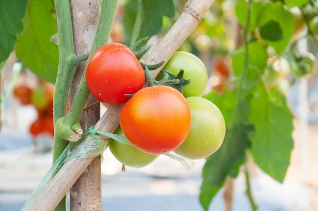 정원에서 신선한 체리 토마토, 식물 토마토 (선택적 초점) 프리미엄 사진