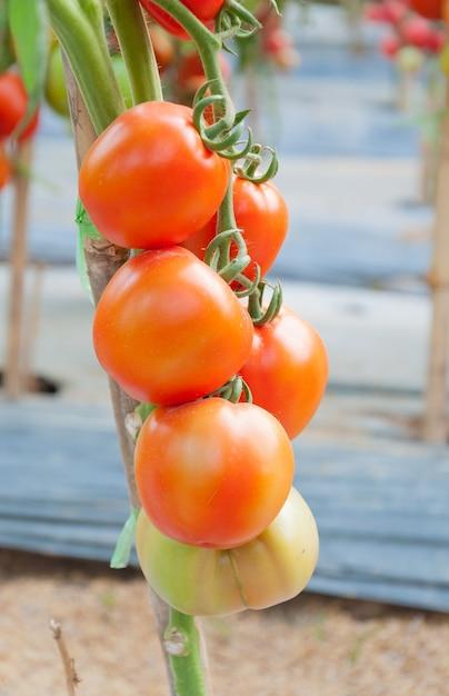 정원에서 신선한 체리 토마토 프리미엄 사진