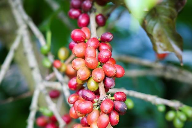 木の枝に新鮮なコーヒー豆 Premium写真