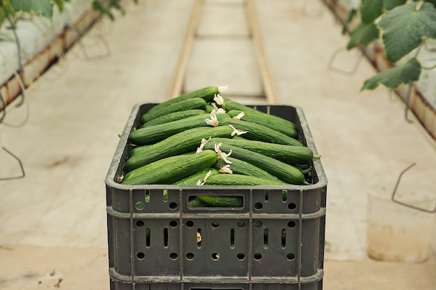 Fresh cucumber gathered from greenhouse plants. Free Photo