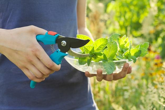 新鮮なカットの葉とミントの小枝 Premium写真