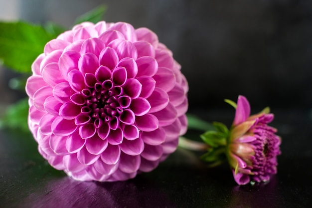 新鮮なダリアの花黒の背景に水滴とピンクのダリアの花。 Premium写真