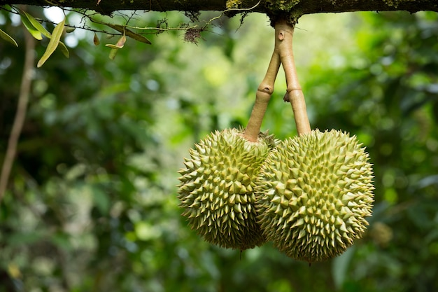 Fresh durian in the orchard Premium Photo